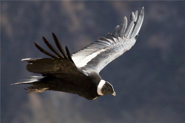 Кондор — літаючий гігант - цікаве про тварин
