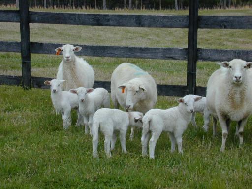 Ніж годувати овець - цікаве про тварин