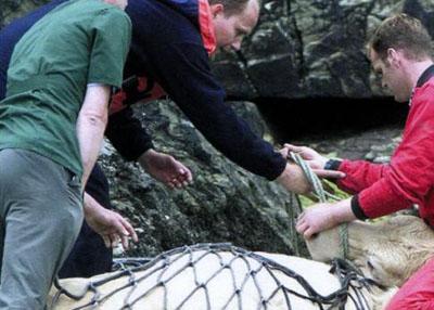 Корова на схилі, або смертельний стрибок - цікаве про тварин