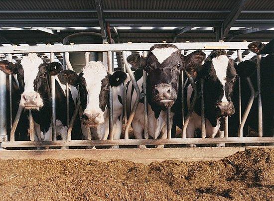 Коров'ячий сказ - цікаве про тварин