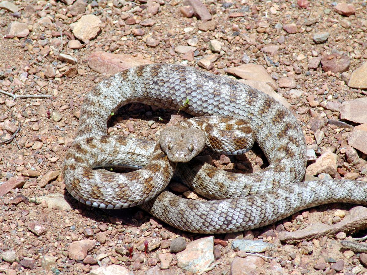 Котяча змія - цікаве про тварин