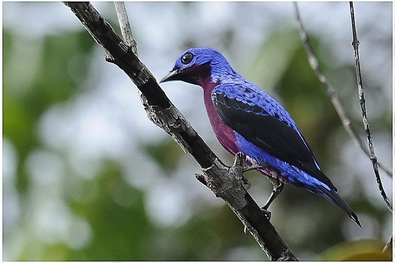 Котинговые — птиці дивовижної краси - цікаве про тварин