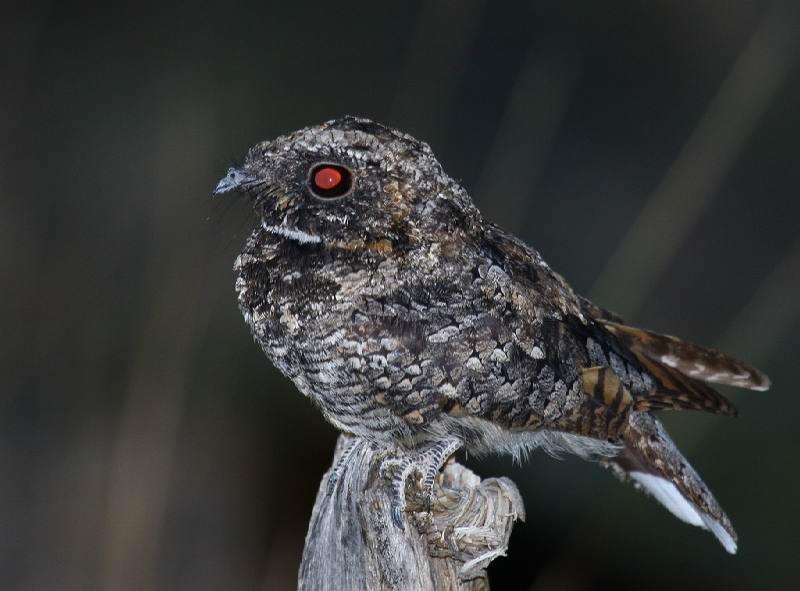 Дрімлюга — птиця, яка впадає у сплячку - цікаве про тварин