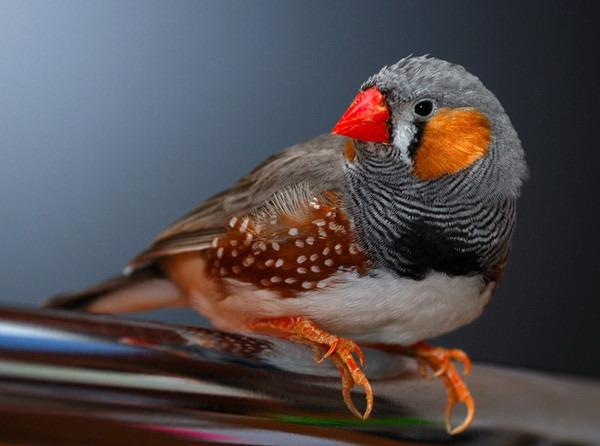 Красноклювый ткачик — птах-сарана - цікаве про тварин