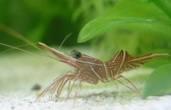 Креветка - цікаве про тварин