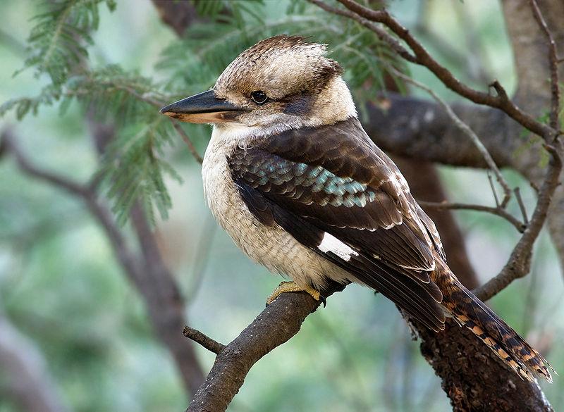 Кукабарра — сміється зимородок - цікаве про тварин