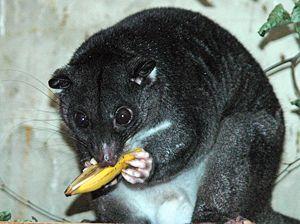 Кускус — чіпке сумчаста - цікаве про тварин