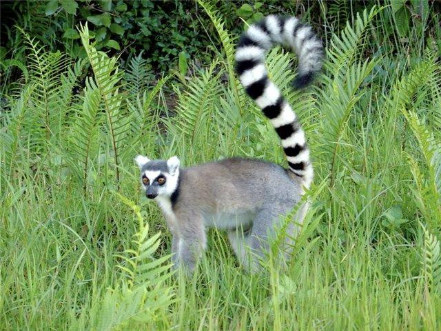 Лемур — мадагаскарський примат - цікаве про тварин