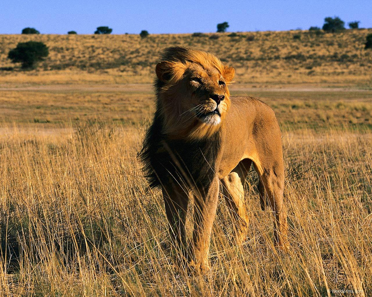 Лев — цар африканської савани - цікаве про тварин