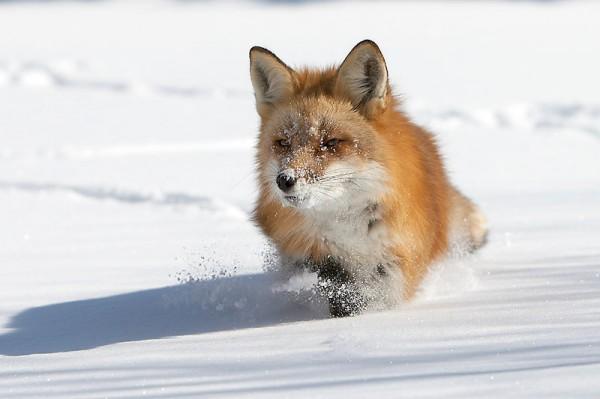 Лисиця — спритний мисливець-одинак - цікаве про тварин