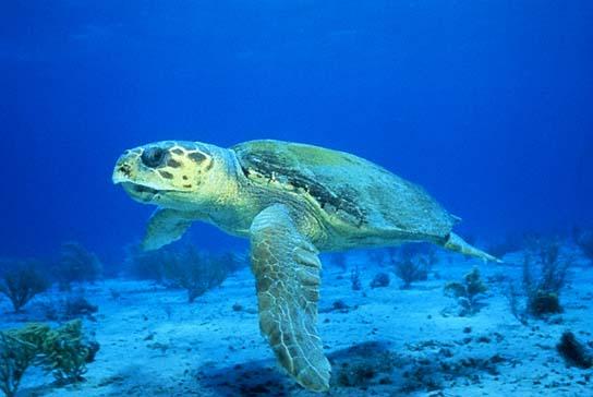 Логгерхед або головастая черепаха - цікаве про тварин
