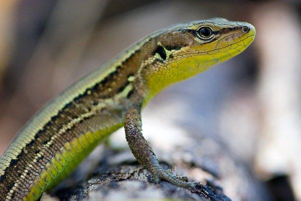 ящірка Лучна - цікаве про тварин