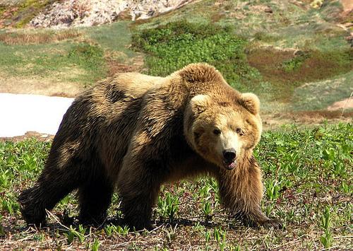 Ведмідь — важковаговик з сильним ударом - цікаве про тварин