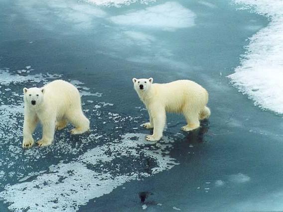 Ведмідь білий — арктичний гігант - цікаве про тварин