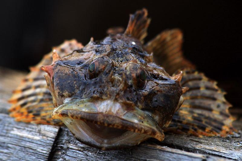 Морський чорт — підступний мисливець - цікаве про тварин