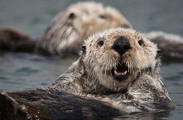 Морська видра — любитель поплавати - цікаве про тварин