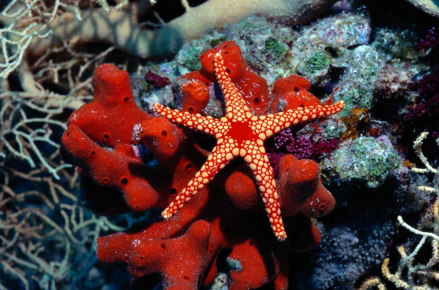 Морська зірка — вміє відрощувати заново промені - цікаве про тварин