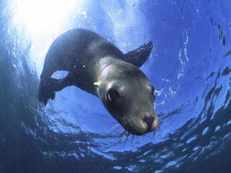Морський лев — подвижение тюленя - цікаве про тварин