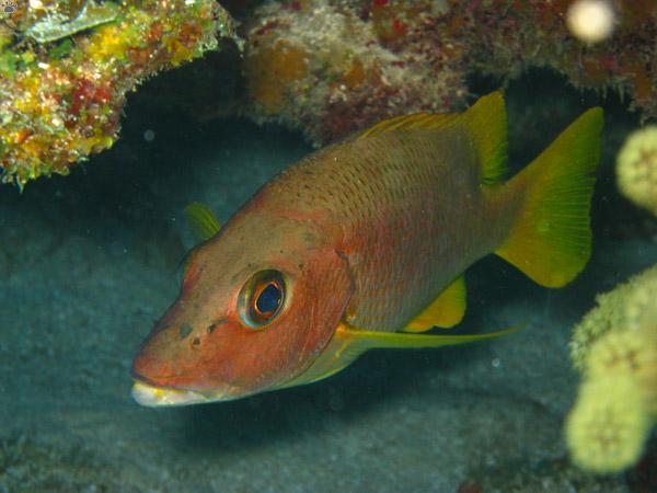 Морський окунь — риба з прекрасним апетитом - цікаве про тварин