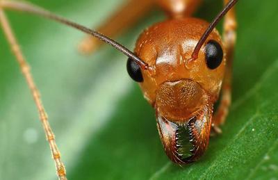Мурахи — працьовиті комахи живуть великими сім'ями - цікаве про тварин