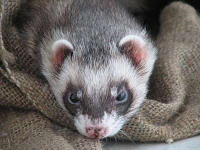 Навантаження для тхора - цікаве про тварин