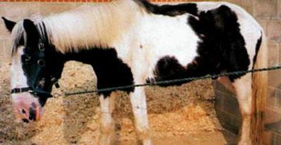 Нещасний кінь став зіркою - цікаве про тварин