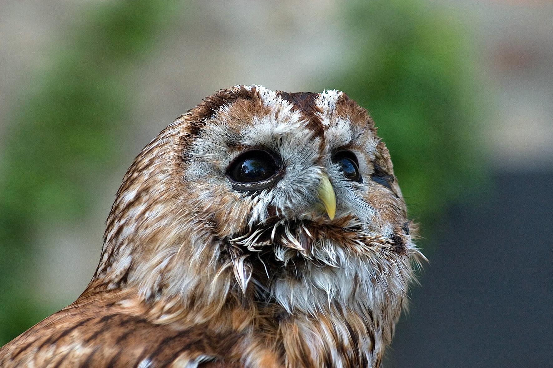 Сова Бэйзил знову на свободі - цікаве про тварин