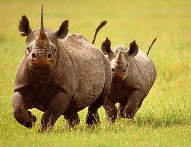 Носоріг — ріг ціною життя - цікаве про тварин