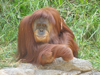 Промінь світла в темному царстві мавп - цікаве про тварин