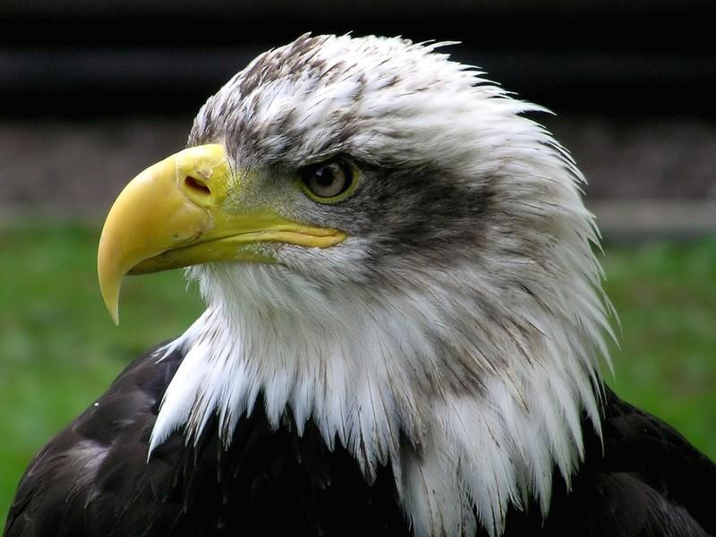 Орланам-белохвостам потрібна ваша допомога - цікаве про тварин