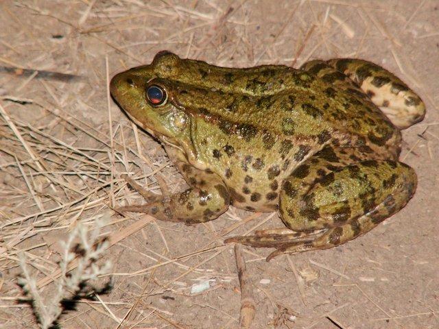 Озерна жаба - цікаве про тварин
