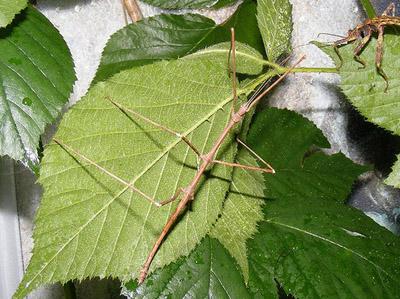 Комаха паличника - цікаве про тварин