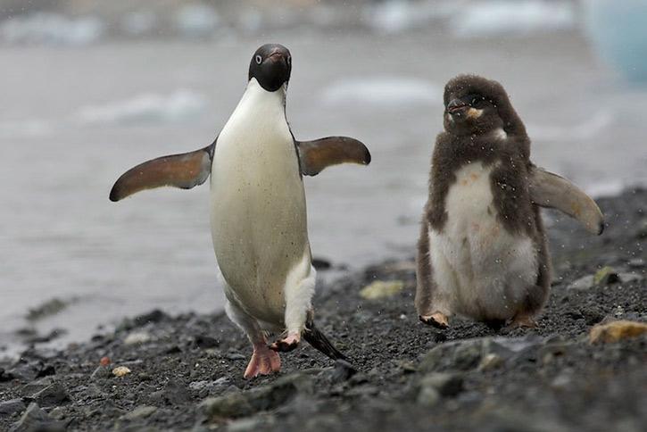 Пінгвіни в біді - цікаве про тварин
