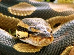 Змія, яка ледь не стала білизною - цікаве про тварин