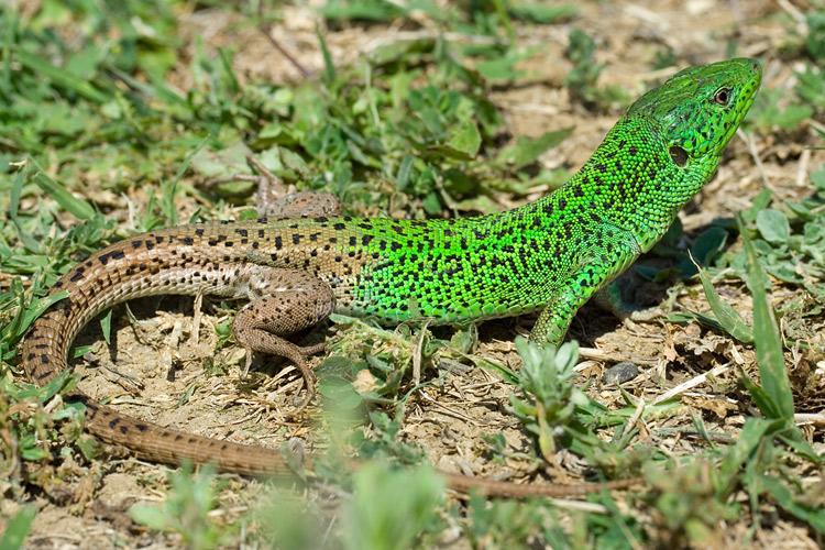 Смугаста ящірка - цікаве про тварин