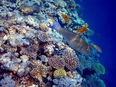 Помацентры — тропічні морські риби з поганим характером - цікаве про тварин