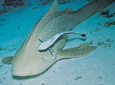 Ремора — нав'язлива риба - цікаве про тварин