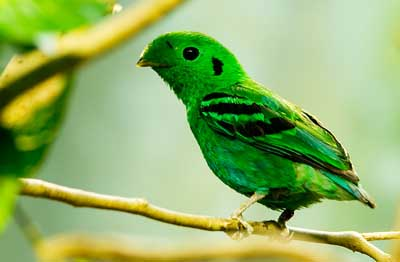 Рогоклювы — птахи з гніздом-гойдалкою - цікаве про тварин