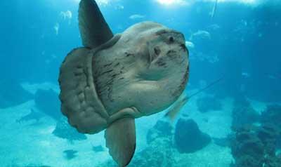 Риба-місяць — гігант, що поклоняється сонцю - цікаве про тварин