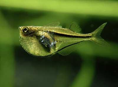 Риба-топірець — дві різні риби, схожі на сокиру - цікаве про тварин
