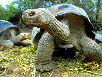 Слонова черепаха - цікаве про тварин