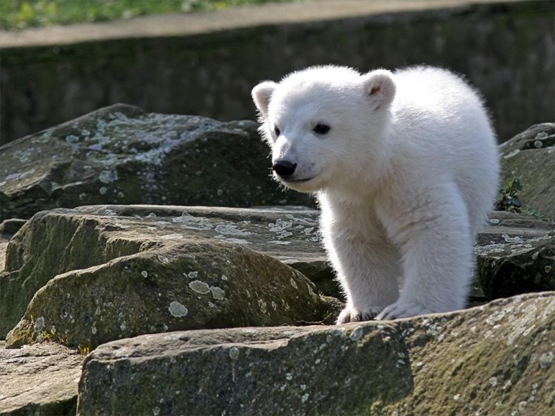 «Відважний» ведмежа - цікаве про тварин