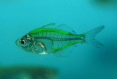 Скляний окунь — майже прозора рибка - цікаве про тварин