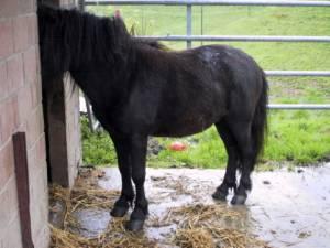 Стійло для поні - цікаве про тварин