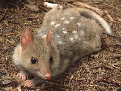 Сумчаста куниця — плямистий нічний хижак - цікаве про тварин