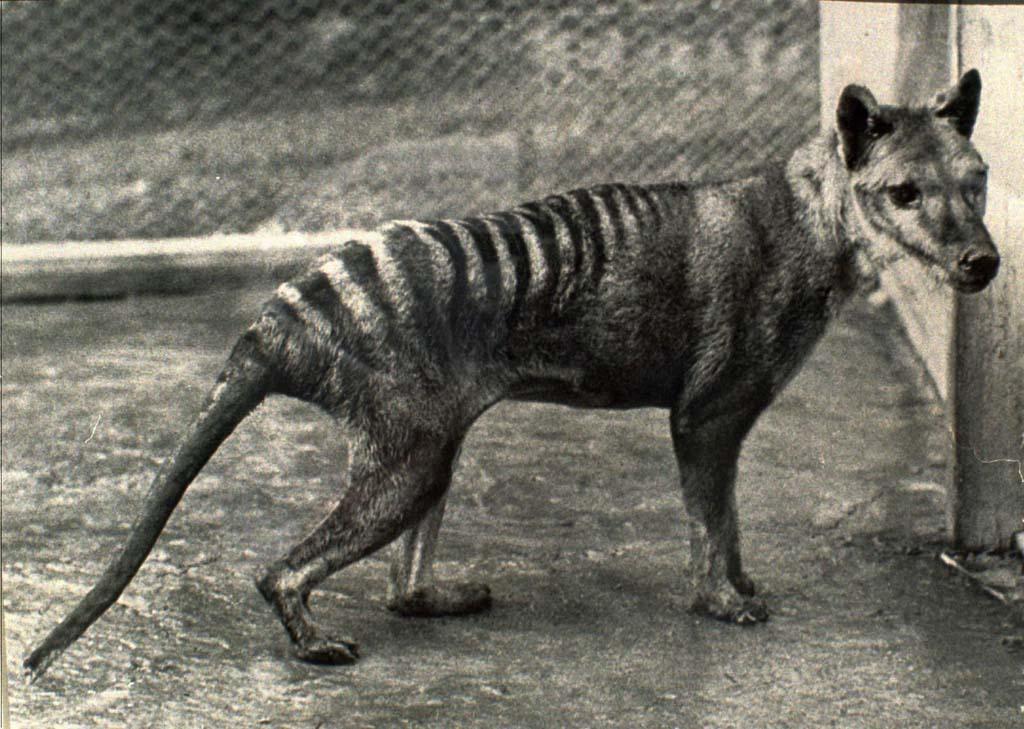 Сумчастий вовк — тасманський вовк-тигр - цікаве про тварин