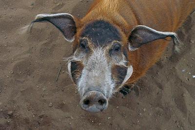 Свиня кистеухая — гроза полів - цікаве про тварин