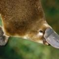 Утконос — яйцекладущее млекопитающее