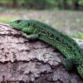 Ящерица — кто разбрасывает хвостами