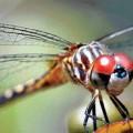 Стрекоза — прекрасный охотник
